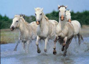 cheval-camargue-ou-camarguais-2